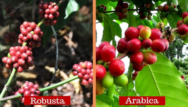 coffee plant types